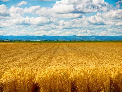 In fields summer yelow blue cloud sky photographi