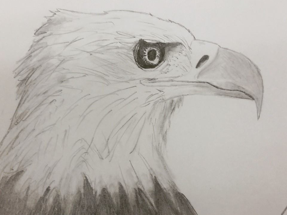 Bald Eagle pencil eagle drawing illustration
