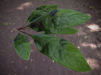 Leaf texture 001