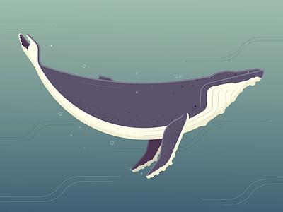 Humpback Whale vector art photoshop illustrator illustration humpback whale