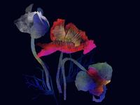 wild island poppys