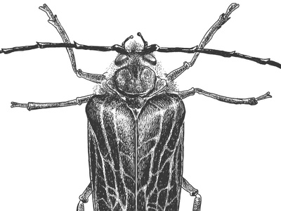 Huhu Beetle nz insect illustration photoshop huhu