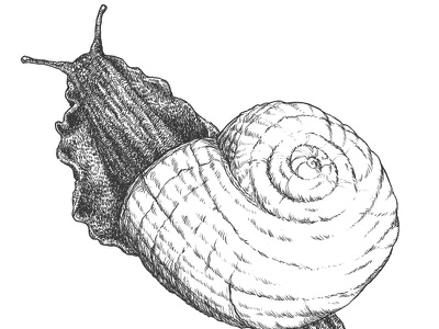 Land Snail insect illustration