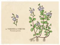 Veronica comune