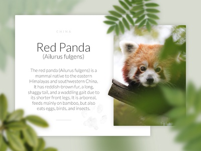 Animal description picture nature zoo red panda webdesign web light graphic design ux ui animal card