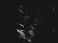 Black eucalyptus
