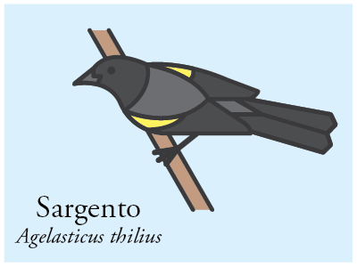Sargento vector illustration bird brazil icon