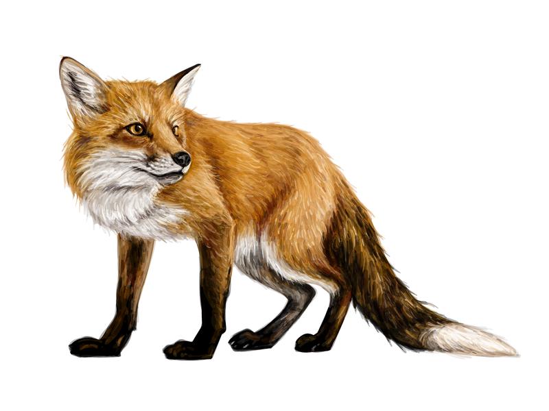 Foxy forest fox wildlife partridge nature deer creative market crane chinchilla bird animals