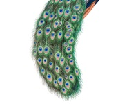 """""""A peacock that rests on his feathers is just another turkey."""""""