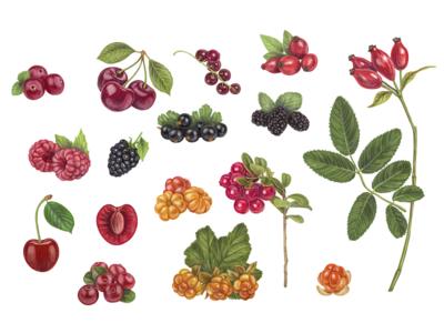 Hand drawn vector Berries