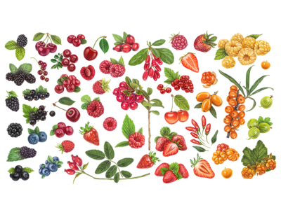 Rainbow berries organic cowberry ripe diet isolated health nature huckleberry bilberry raspberry blueberry vitamin illustration fresh sweet berry juicy blackberry fruit strawberry