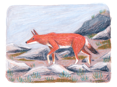 Ethiopian Wolf editorial drawing animal art ethiopian conservation extinction illustration texture art picture book crayon animal wolf