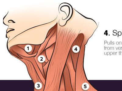 The human body (anatomy app) anatomy neck human body ui illustration