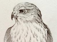 Study: Hawk Pencil