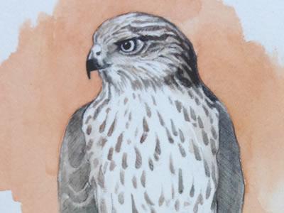 Study: Hawk