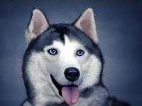 Husky Digital Painting