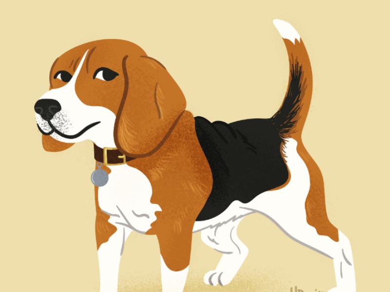 Beagle doggos doggust beagle digitalart illustration