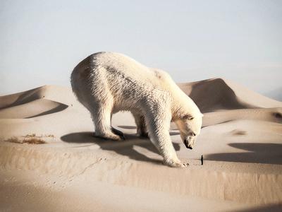 Polar Bear In The Desert