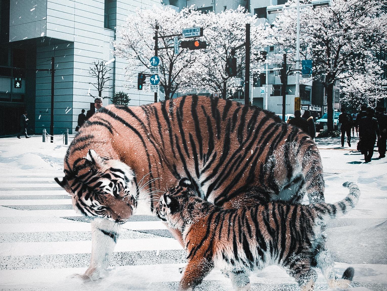 Tigers In The City surreal-art digital-art design photocomposition adobe photoshop visual arts graphic design surreal art photoshop digital art photomanipulation