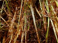 Dews among the grasses