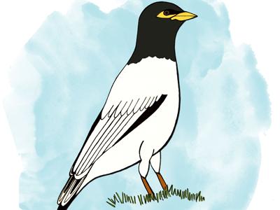 Mynah bird illustration mixed mediums