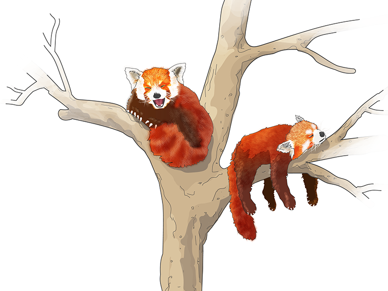 Red Pandas are cute as hell cute panda bear vector animal illustration