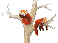 Red Pandas are cute as hell
