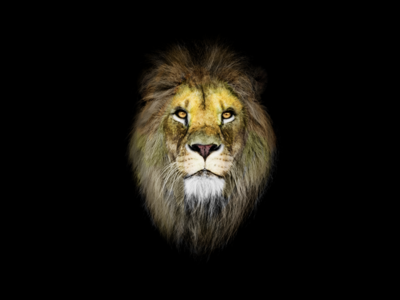 The King jungle cat warriors warrior photoshop brush photoshop art photoshop animal kings king lion king lion head lion lions
