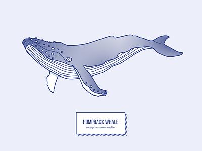 Humpback Whale swim fin ocean fish mammal whale humpback