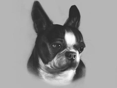 Portrait of Mickey Mugglesworth drawing procreate puppy dog boston boston terrier pet