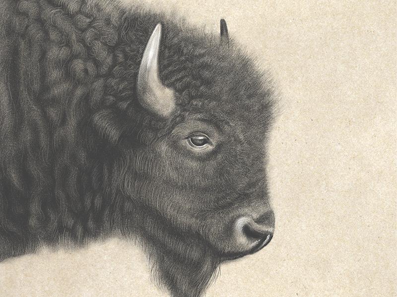 Bison Sketch adobe sketch drawing bison sketch