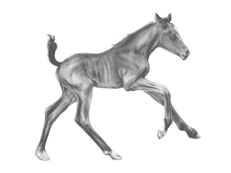 Foal Drawing animal art foal horse illustration drawing adobesketch