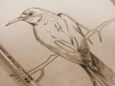 Bird Sketch daily illustration drawing animal bird logo design art