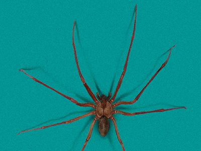 spider :((( aracnophobia phobia hiperrealism scientific illustration realism insect arachnidea arthropodos spider