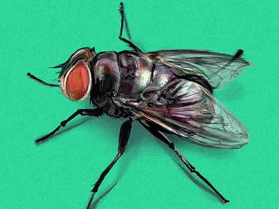 fly hiperrealism scientific illustration realism insect arthropodos fly