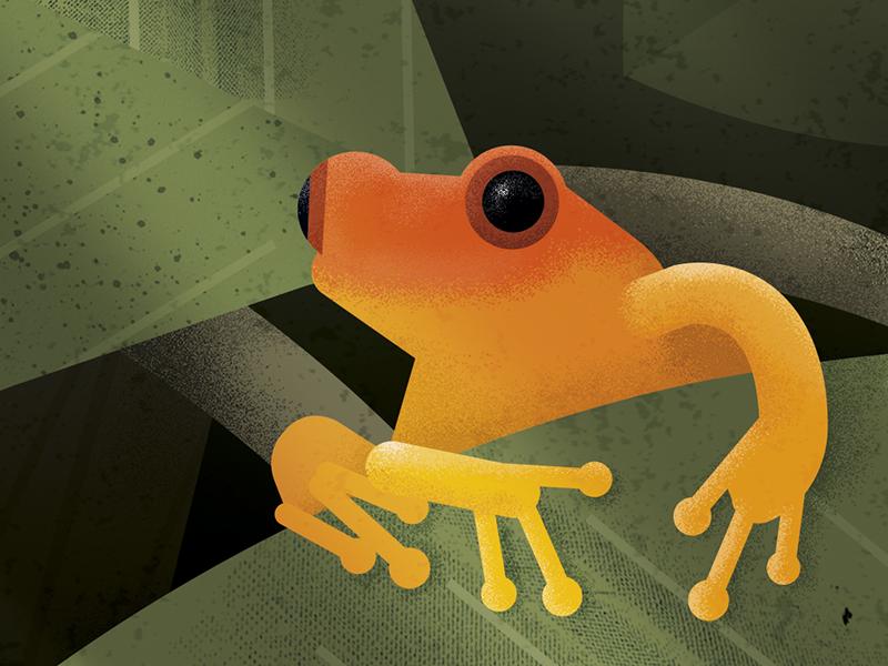 Golden mantella frog illustration debut madagascar frog illustration
