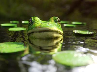 🐸 texture water 3d animation zen calm lake toad lilypad render design illustration cinemagraph animation animated frog loop blender 3d cgi blender eevee frog