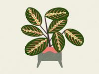 marantal plant