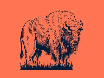 Buffalo procreate oklahoma bison buffalo drawing illustration