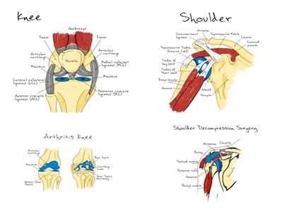 scheme anatomy