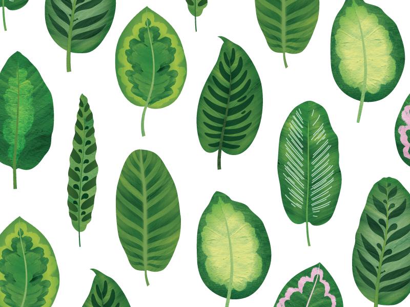 Calathea Leaves leaf green pattern illo illustration leaves nature botanical plants calathea