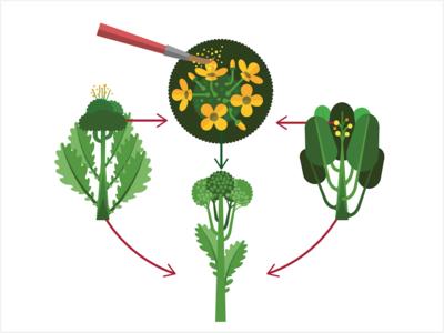 Hybrid Seeds plants broccolini broccoli seeds