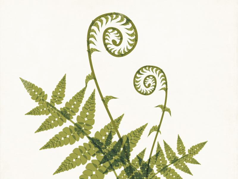 Fiddlehead Fern Illustration botanical fern illustration plant modern green