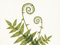 Fiddlehead Fern Illustration