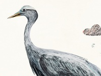 Blue Crane Illustration