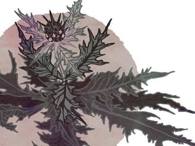 gundelia tournefortii linework journalism editorial food flowers akoub thistle procreate plants