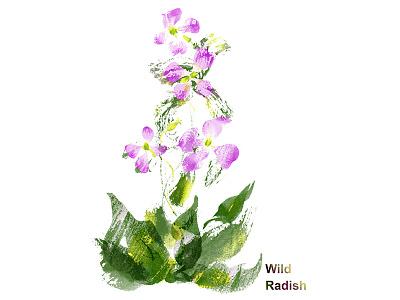 Wild Radish pink green radish wild flower plant plant illustration plants