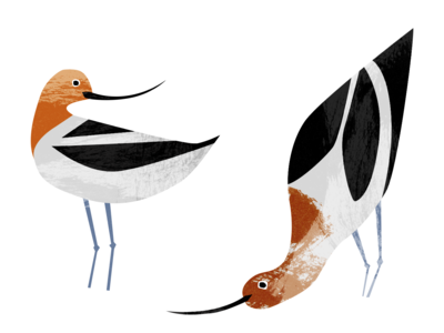 Avocets park interpretive illustration burnt orange orange black  white black nature avocet birds