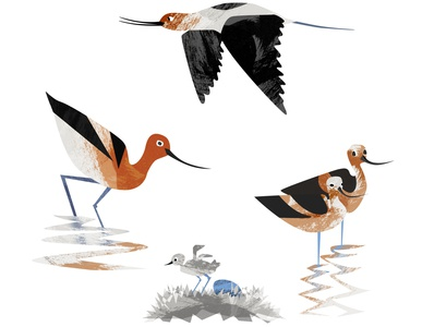 Avocets water reflection flying parenting white black birds burnt orange orange couple baby chicken egg bird avocet design illustration character
