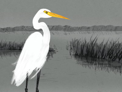 Great Egret grass reflection hills protection preserve nature conservation conservancy legs feather great white beak yellow birds of the bay grayscale birds bird great egret great egret